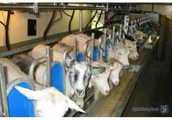 Доильный зал для коз с боковым выходом. 6 доильных мест, 6 доильных ап